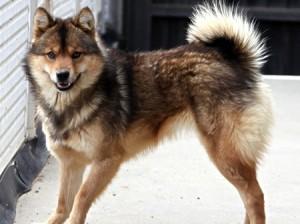 <b>「つよかわいい!オオカミの血をひく秘境の犬」</b><br />四方を2,000m級の山々に囲まれた南佐久郡川上村は、冷涼な気候によるレタスや白菜などの高原野菜の &#8230;