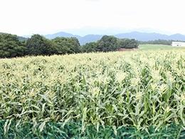 <b>「毎週!おいしい!プレゼント」</b><br />今週は、トウモロコシはトウモロコシでも甘みが強いと注目されている新品種「ピュアホワイト」を抽選 &#8230;<br /><span>※プレゼントの受付は終了しました