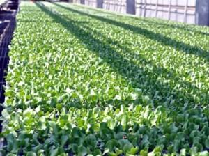 <b>「農業は楽しい!高原のレタス農家の春しごと」</b><br />4月下旬になっても桜や梅がまだ咲かない標高の高い地域では、農作業の開始によって春を感じるそうです &#8230;
