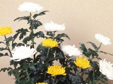 <b>「わたしたちとキクとの関係はこれからも続く」</b><br />キクというと仏様に供える花のイメージが強いですが、最近はそのイメージを払拭するような咲き方、 &#8230;