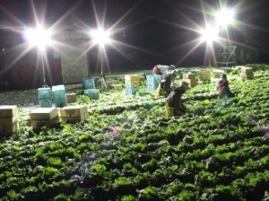 <b >「新海さんちの農事録(第8回)」</b><br />まもなくレタスの出荷がはじまって作期の半分が過ぎようとしています。野菜の価格の低迷は相変わらずで、生産者同士の会話にはなんと &#8230;